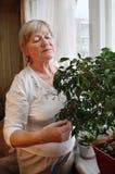 Uma mulher idosa examina o ficus Fotografia de Stock Royalty Free