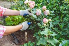 Uma mulher que importa-se com um jardim de rosas fotografia de stock royalty free