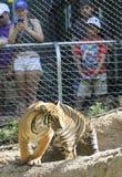 Uma mulher toma uma foto do telefone celular de um tigre Foto de Stock Royalty Free