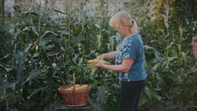 Uma mulher trabalha em seu jardim e cresce todo o alimento para si mesma A aeromoça eliminou as cascas e saiu-as do milho vídeos de arquivo