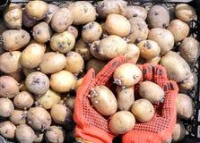 Uma mulher vestida em luvas do trabalho guarda batatas foto de stock royalty free