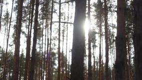 Uma névoa bonita delicada nos raios de sol brilhantes do nascer do sol incandesce com raios mágicos na floresta alpina conífera s filme