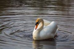 Uma natação branca bonita da cisne e feeting no rio na mola Imagem de Stock Royalty Free