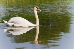 Uma natação da cisne Fotos de Stock