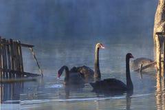 Uma natação da cisne preta em uma água da associação Fotografia de Stock