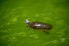 Uma natação da tartaruga em uma lagoa verde da água Foto de Stock