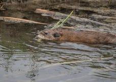 Uma natação do castor em um córrego Imagem de Stock Royalty Free
