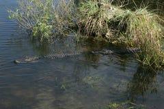 Uma natação do jacaré americano foto de stock