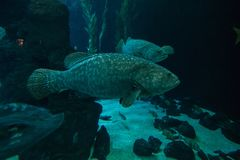 Uma natação do marginatus do Epinephelus da garoupa em um aquário no primeiro plano imagens de stock