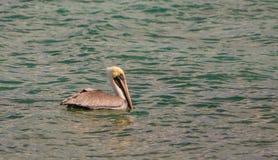 Uma natação do pelicano de Brown no mar das caraíbas Fotografia de Stock Royalty Free