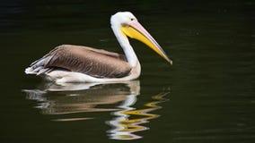 Uma natação do pelicano sobre ondinhas na água vídeos de arquivo