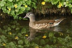 Uma natação fêmea do galericulata de Duck Aix do mandarino em um córrego Fotografia de Stock