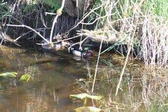 Uma natação masculina colorida do pato de madeira em um córrego com uma fêmea dentro fotografia de stock