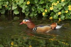 Uma natação masculina do galericulata de Duck Aix do mandarino em um córrego Imagens de Stock Royalty Free
