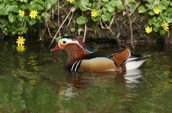 Uma natação masculina do galericulata de Duck Aix do mandarino em um córrego com um fundo do celandine floresce Foto de Stock