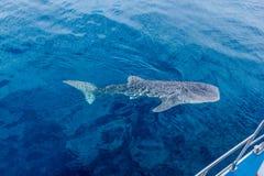 uma natação pequena ao lado de um barco, tiro de um barco, Austrália Ocidental do tubarão de baleia do bebê do recife de Nigaloo imagem de stock
