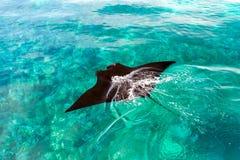 Uma natação preta da arraia-lixa em um oceano foto de stock