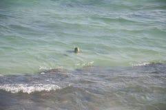 Uma natação da tartaruga no Oceano Índico Fotografia de Stock Royalty Free