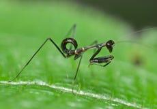 Uma ninfa preta do mantis Fotografia de Stock Royalty Free