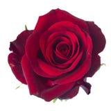 Uma obscuridade - rosa do vermelho fotos de stock