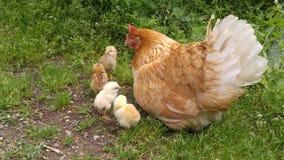 Uma ocupa com as galinhas na jarda imagem de stock