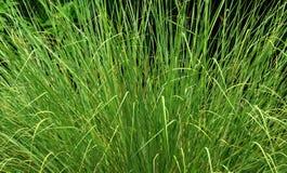 Uma opinião bonita do jardim da planta decorativa da grama Foto de Stock