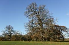 Uma opinião cênico da paisagem do outono de um carvalho poderoso em Woburn, Reino Unido Imagens de Stock