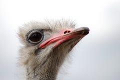 Uma opinião curiosa do close-up da cabeça da avestruz foto de stock