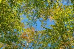 Uma opinião de baixo ângulo das folhas de outono coloridas em árvores fotos de stock