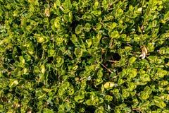 Uma opinião do close-up o Buxus verde Imagens de Stock