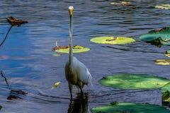 Uma opinião frontal incomum um grande Egret branco selvagem, (Ardea alba) entre Lotus Water Lilies em Texas. Imagem de Stock