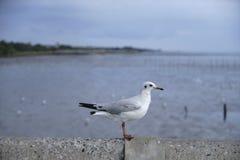 Uma opinião lateral uma gaivota Imagem de Stock Royalty Free