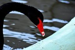 Uma opinião surpreendente uma cisne preta foto de stock