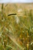 Uma orelha do trigo Fotos de Stock