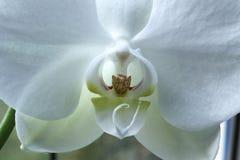 Uma orquídea Imagens de Stock