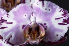 Uma orquídea Foto de Stock Royalty Free