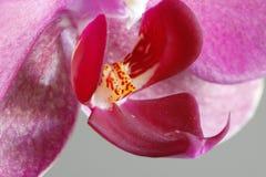 Uma orquídea Fotografia de Stock Royalty Free
