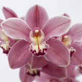 Orquídea colorida Imagens de Stock Royalty Free