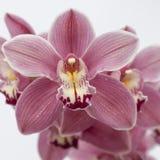 Orquídea colorida ilustração stock
