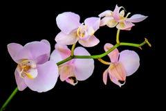 Uma orquídea da flor Fotos de Stock