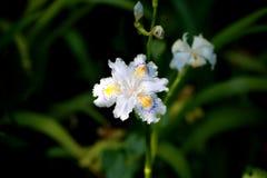 Uma orquídea (Orchidaceae) Imagem de Stock Royalty Free