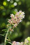 Uma orquídea pequena, helleborine de Epipactis, com flores do lila imagens de stock royalty free