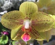Uma orquídea que eu manchei Imagem de Stock