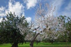 Uma outra floresta da amêndoa em Mallorca Fotografia de Stock