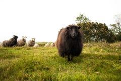 Uma ovelha negra que está na grama Imagem de Stock Royalty Free