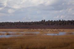 Uma paisagem adiantada bonita da mola com um rebanho do voo de gansos migratórios Foto de Stock Royalty Free