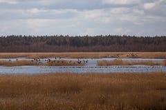 Uma paisagem adiantada bonita da mola com um rebanho do voo de gansos migratórios Fotos de Stock Royalty Free