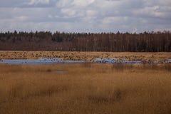Uma paisagem adiantada bonita da mola com um rebanho do voo de gansos migratórios Imagem de Stock Royalty Free