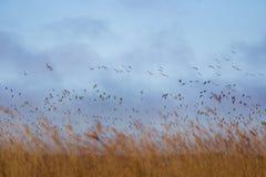 Uma paisagem bonita com um rebanho do voo de gansos migratórios sobre uma floresta dos juncos Imagem de Stock