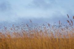 Uma paisagem bonita com um rebanho do voo de gansos migratórios sobre uma floresta dos juncos Fotografia de Stock Royalty Free